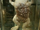 Frog exhibit in the Grant Museum of Zoology
