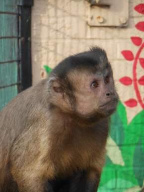 Capuchin at Battersea Park Children's Zoo