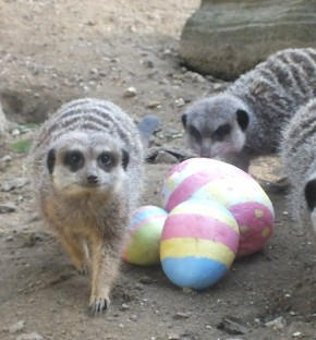 Battersea Park Zoo - Meerkats with Easter eggs